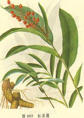 云南红豆蔻果