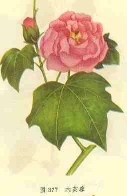 木芙蓉图片