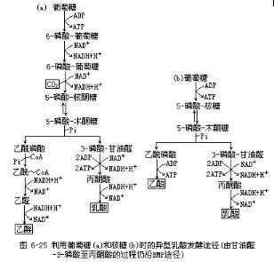 异型乳糖发酵途径_食品微生物检验二_食品检