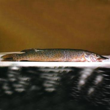 野生黑斑狗鱼的价格_