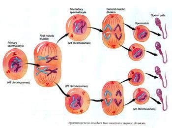 精子的形成_生理学图片