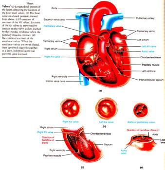 心脏瓣膜2