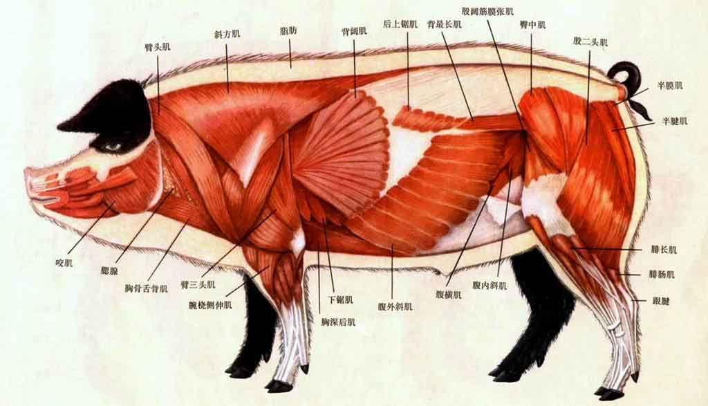 猪肌肉结构图片图片