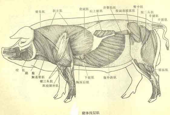 猪肌肉图图片
