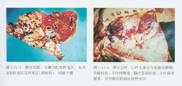 牛巴氏杆菌图片