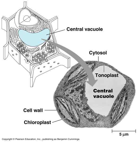 中央/植物细胞的中央大液泡