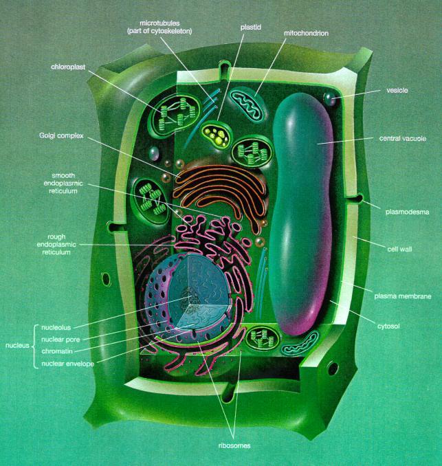 细胞模式图图片