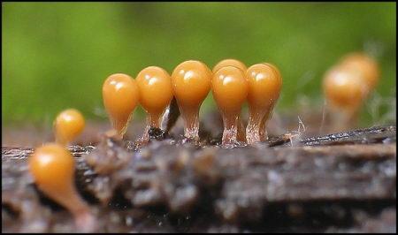 全球资讯_漂亮的黏菌_菌类图片_果蔬图库_食品图库_食品伙伴网