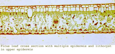 ficus leaf cross section with multiple epidermis and