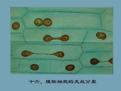 植物细胞 无丝分裂 十六 图库/十六植物细胞的无丝分裂