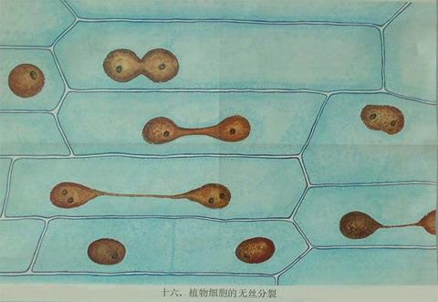 植物细胞 无丝分裂 十六 图库/十六植物细胞的无丝分裂1
