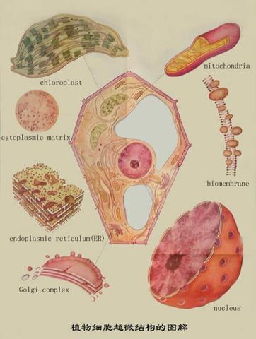 图解 超微/植物细胞超微结构的图解
