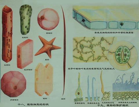 植物/植物细胞的形态和植物的保护组织
